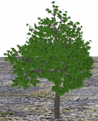 Picture of Large Maple Tree Model Poser Format